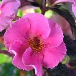Arletta-Pink-B