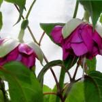 Englisch-Rose