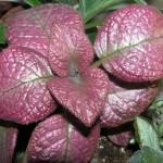 Strawberry-Mist---b