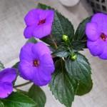 Violette-Charm-b